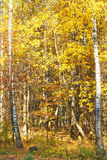 Yellow autumn birch forest Royalty Free Stock Photos