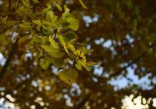 Yellow autumn birch leafs closeup stock photography