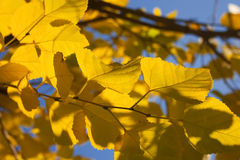 Yellow autumn birch leaves against the blue sky Royalty Free Stock Images