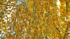 Yellow autumn birch leaves. On branches stock video footage