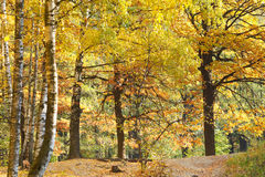 Yellow autumn birch and oak forest Stock Photos