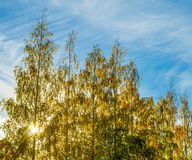 Yellow autumn birches against the sun Stock Images