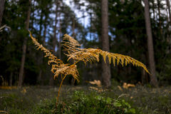 Yellow autumn bracken in a forest. Yellow autumn bracken growing amongst tall pine trees in a dense forest, close up view to a colorful leaf of the bracken royalty free stock image