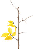Yellow autumn branch isolated Royalty Free Stock Images