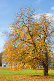Yellow autumn chestnut Royalty Free Stock Photography