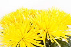 Yellow autumn chrysanthemum isolated on white Stock Photos