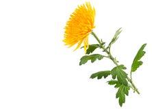 Yellow autumn chrysanthemum Stock Photography