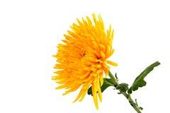 Yellow autumn chrysanthemum Royalty Free Stock Photo