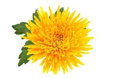 Yellow autumn chrysanthemum Royalty Free Stock Photos
