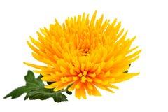Yellow autumn chrysanthemum Stock Image