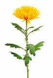 Yellow autumn chrysanthemum Royalty Free Stock Images