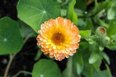 Yellow autumn chrysanthemum macro Stock Photo