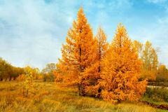 yellow autumn conifers Stock Photography