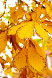 Yellow autumn conker leaf chestnut Royalty Free Stock Images