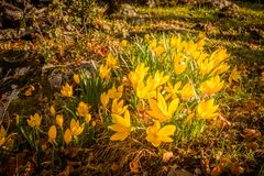 Yellow autumn crocus Royalty Free Stock Photography
