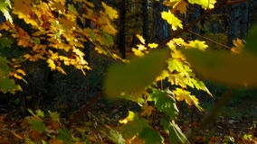 Yellow Autumn In Deciduous Tree Forest stock footage