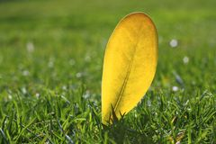 Yellow autumn fall leaf on garden green grass lawn Stock Image
