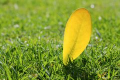 Yellow autumn fall leaf on garden green grass lawn Royalty Free Stock Image