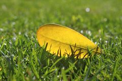 Yellow autumn fall leaf on garden green grass lawn Royalty Free Stock Photo