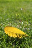 Yellow autumn fall leaf on garden green grass lawn Royalty Free Stock Images