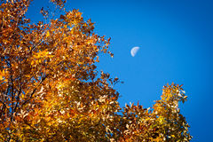 Yellow Autumn Foliage, Blue Sky, and Half Moon Stock Photo
