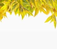 Yellow autumn foliage , isolated on white Stock Image