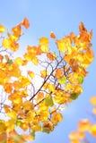 Yellow autumn foliage Stock Images