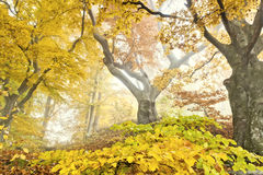 Yellow autumn forest Royalty Free Stock Photos