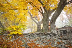 Yellow autumn forest Stock Photography