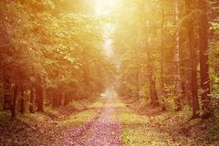 Yellow autumn forest background Royalty Free Stock Photography
