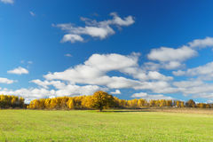 Yellow autumn forest at the green field and blue sky. Golden autumn forest among green fields and and under clear blue sky. Latvia Royalty Free Stock Photo
