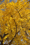 Yellow autumn ginkgo tree stock photography