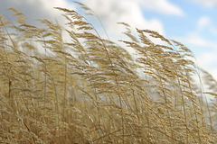 Yellow autumn grass on blue sky background Stock Images