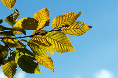Yellow autumn hornbeam leaves Royalty Free Stock Photography