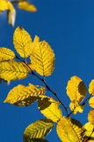 Yellow autumn hornbeam leaves Stock Photo