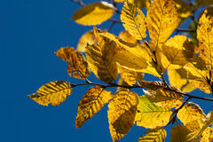 Yellow autumn hornbeam leaves Royalty Free Stock Photo
