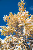 Yellow autumn larch under snow Royalty Free Stock Photography