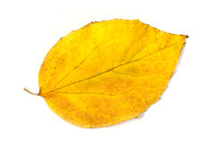 Yellow autumn leaf Royalty Free Stock Photos