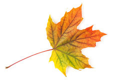 Yellow autumn leaf Royalty Free Stock Images