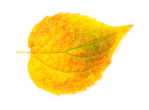 Yellow autumn leaf Stock Photos