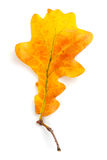 Yellow autumn leaf Stock Images