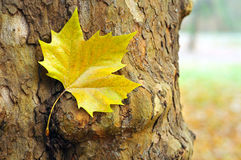 Yellow autumn leaf Stock Photography