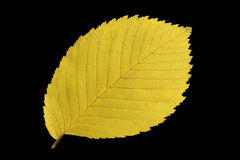 Yellow autumn leaf. Clipping path included royalty free stock photography