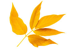 Yellow autumn leaf ash on white background Royalty Free Stock Photos