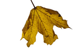 Yellow autumn leaf backlit. Backlit autumnal sycamore leaf fallen from tree isolated on white stock image
