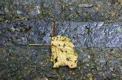 Yellow autumn leaf on black asphalt background. Stock Photo