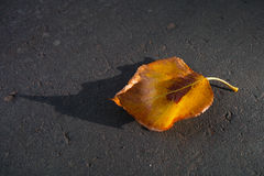 Yellow autumn leaf Royalty Free Stock Image