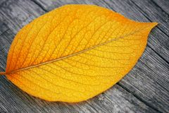 Yellow autumn leaf close-up on royalty free stock photos
