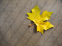 Yellow Autumn Leaf Royalty Free Stock Image