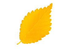 Yellow autumn leaf elm on white background Stock Images